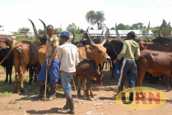 Some of the cattle farmers attending to their animals in Tonya village  Buseruka Subcounty Hoima district