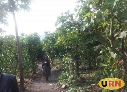 A farmer walking in a Vanilla Plantation, the crop is becoming so lucrative in Bukomansimbi district
