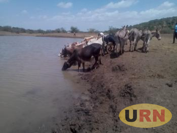 Cattle with donkeys watering in Rupa.